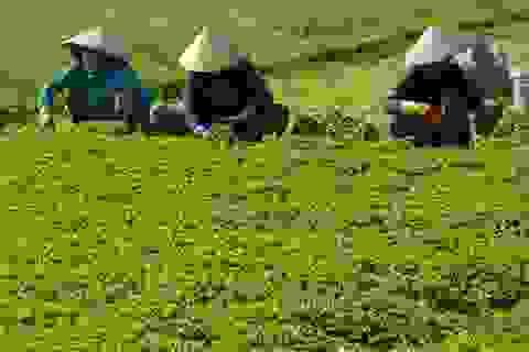 Nắng nóng rau má tăng giá, nông dân thu bạc triệu