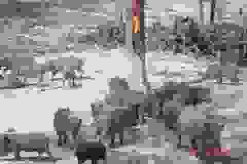 Kể chuyện dân phố kỳ công săn thịt lợn sạch