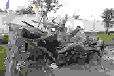 Gốc cây huyền sử ngàn năm giá tiền tỷ của đất Việt