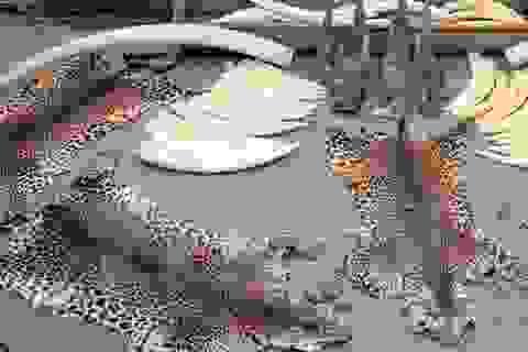 Người Trung Quốc đổ xô tới Đông Nam Á mua thịt hổ và tay gấu