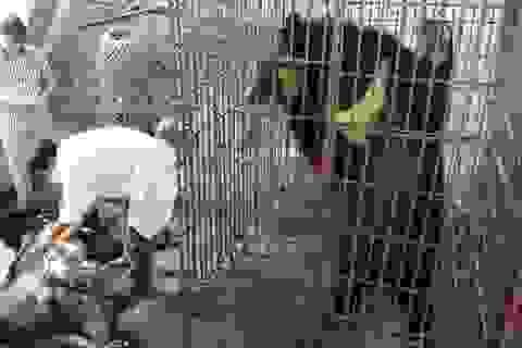 Thêm một cá thể gấu chết tại Quảng Ninh