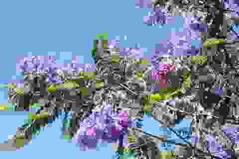 Ngẩn ngơ phượng tím xứ ngàn hoa