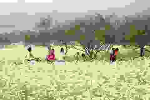 Mùa hoa cải trắng trời Mộc Châu
