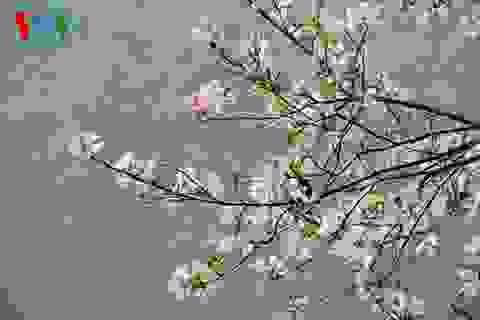 Hoa ban Tây Bắc nở trắng rừng