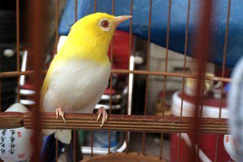 Chim vành khuyên đột biến gen: Tỷ phú Singapore mua không nổi