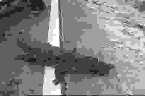 Đang xác minh nguồn gốc con cá sấu 30kg nằm phơi nắng bên QL1A