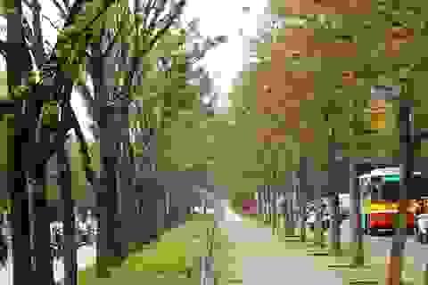Những hàng cây đẹp hút hồn ở Hà Nội sẽ ra sao?
