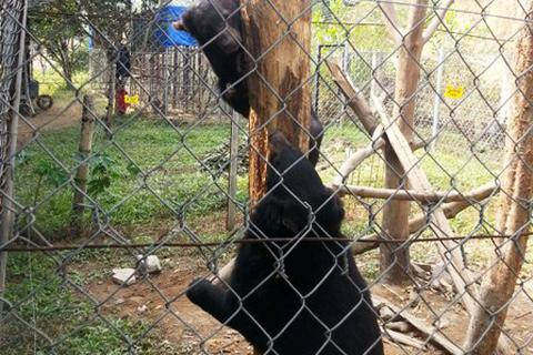 Bàn giao 2 cá thể gấu ngựa cho Trung tâm cứu hộ gấu