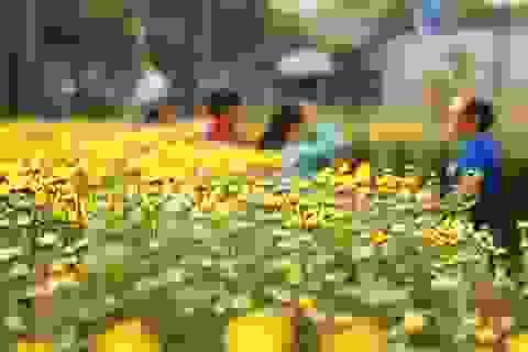 Rực rỡ những vườn hoa Tết