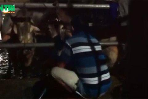 Đột nhập lò giết mổ bơm nước vào bò đến ngã quỵ