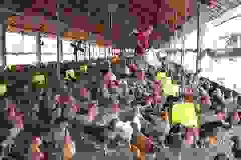 Giá cả bấp bênh, nông dân nuôi gà điêu đứng