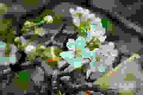 Đẹp tinh khôi: Hoa lê về phố!