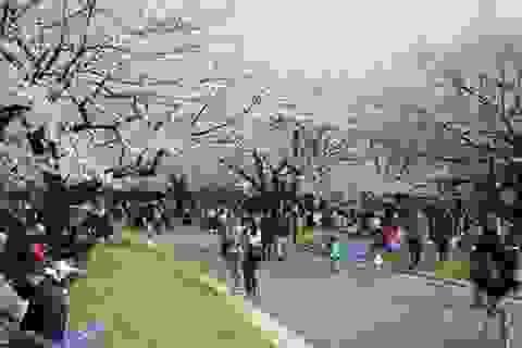 Tokyo ngập sắc hoa anh đào