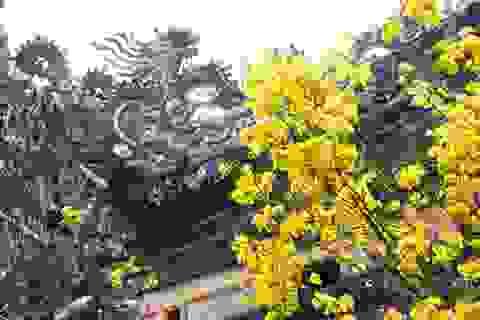 Ngắm mai vàng cổ nở hoa vàng rực Hoàng cung Huế