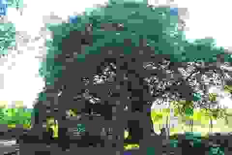 Cây thị 544 tuổi làng Phước Tích được công nhận cây di sản