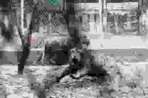 Kinh hãi nhìn hơn chục con hổ được nuôi sát khu dân cư