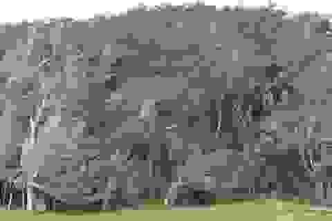 Ở nơi cây cổ thụ... xoắn mình theo gió đại dương
