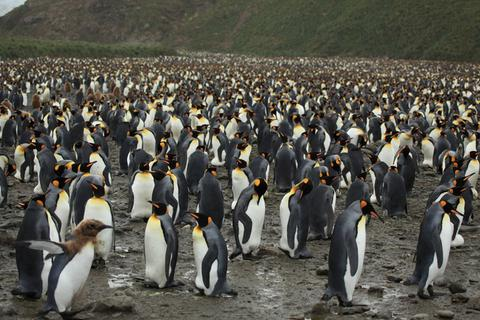 """Lạc vào """"vương quốc"""" chim cánh cụt bên bờ Đại Tây Dương"""