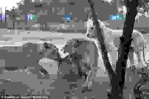 """Du khách bị sư tử cắn chết từng làm phim """"Game of Thrones"""""""