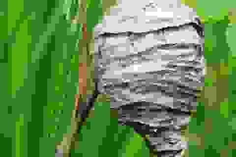 """Tử vong sau khi """"mây mưa"""" với tổ ong"""