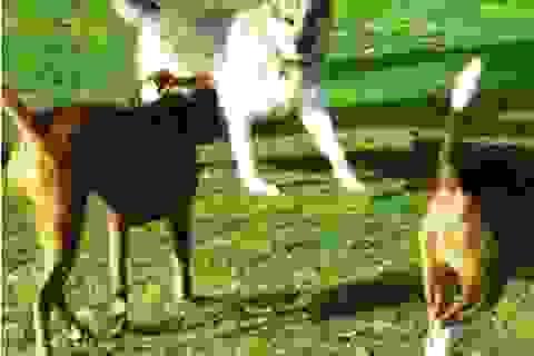 """Đòi bồi thường hàng trăm triệu đồng vì chó cưng bị """"cưỡng bức"""""""