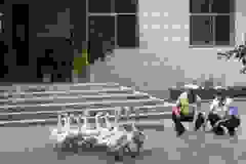Cảnh sát Trung Quốc nuôi ngỗng để chống trộm