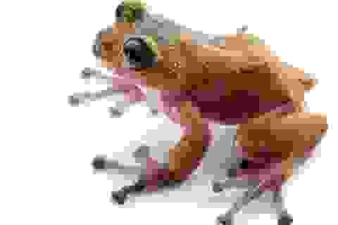 Phát hiện loài ếch mới ở Việt Nam có da màu hồng và vàng