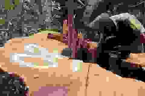 """Cận cảnh cây sa mu hàng trăm năm tuổi bị """"xẻ thịt"""" ở khu bảo tồn thiên nhiên Pù Hoạt"""