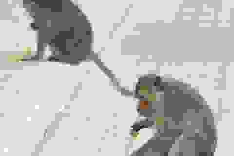 Trộm khỉ lộng hành trong nội ô Tòa thánh Tây Ninh