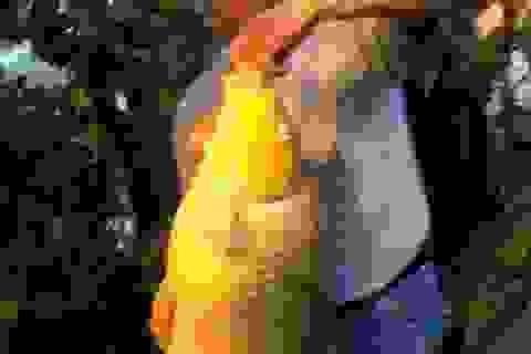 Câu được cá chép dài gần 1 m