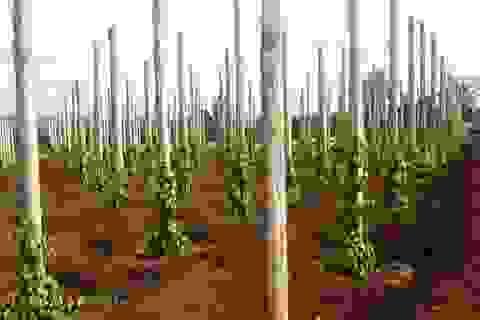Giá tiêu đạt mức kỷ lục, nông dân chặt cao su, ồ ạt trồng tiêu