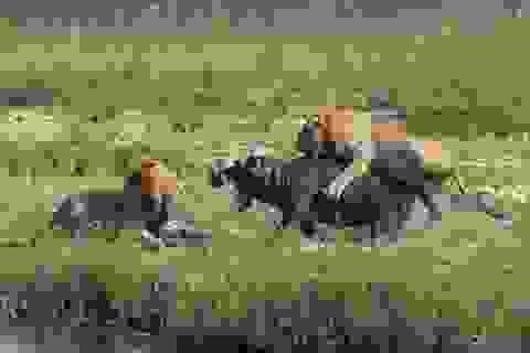 Huyết chiến giữa hà mã và sư tử
