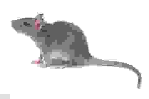 Phát hiện giác quan thứ 6 ở chuột