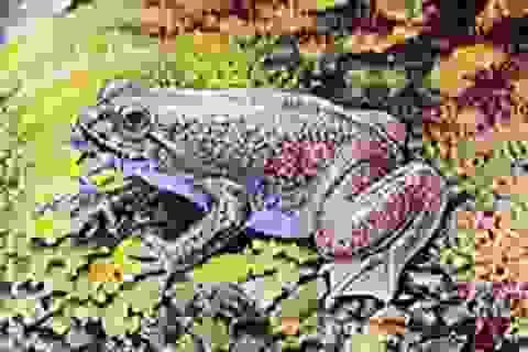 Nhân bản ếch tuyệt chủng đẻ bằng miệng
