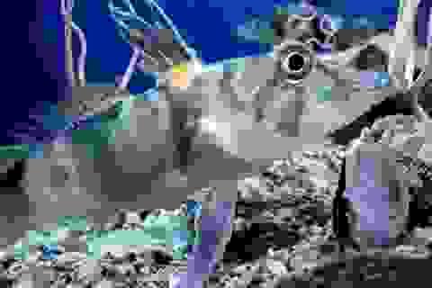 Ngắm loài cá kỳ lạ có máu trong suốt