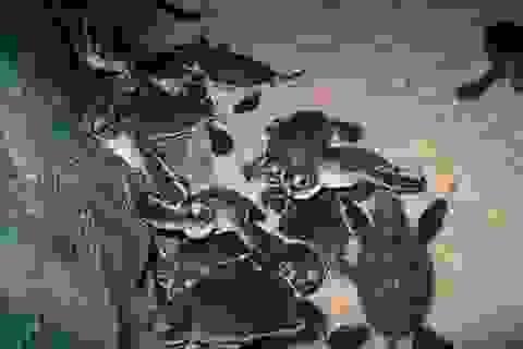 Gần 170 rùa biển quý hiếm nở trên bãi biển Quy Nhơn