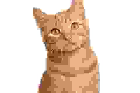 Mèo là chìa khóa cho vacxin HIV?