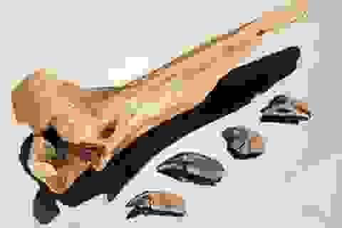 """Người và hổ răng kiếm """"gặp nhau"""" 300 nghìn năm trước"""