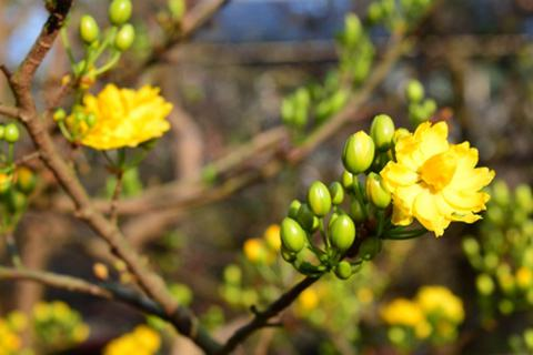 Mai vàng nở rực ở miền Tây