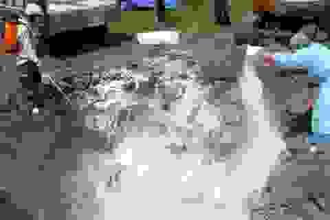 Hà Tĩnh: Tiêu hủy gần 1.400 con gia cầm bị nhiễm cúm H5N1