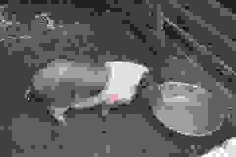 Lợn giống cấp cho người nghèo chết hàng loạt là do... thời tiết (!?)