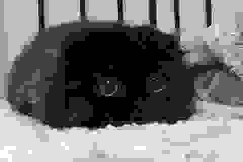 Chú mèo nổi tiếng trên Internet nhờ đôi mắt tròn cực đáng yêu