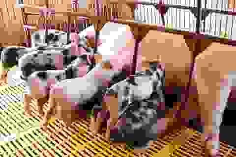 Đột nhập trang trại, trộm 40 con lợn giống về nuôi