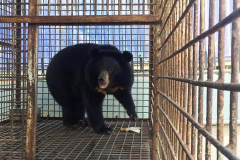 Cứu hộ thành công cá thể gấu nuôi tại Đà Nẵng
