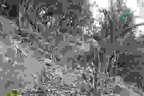 Đà Nẵng sẽ khởi tố vụ phá rừng khu bảo tồn Sơn Trà