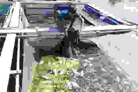 Bàng hoàng cá chết trắng chỉ sau một đêm