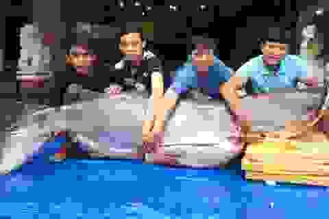 Cá tra dầu nặng 200kg từ Campuchia về TPHCM