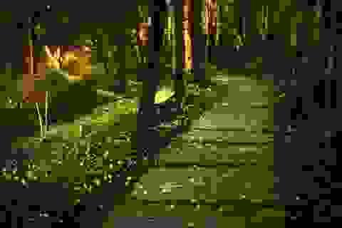 Ngắm thiên đường đom đóm ngoài trời sáng rực trong đêm