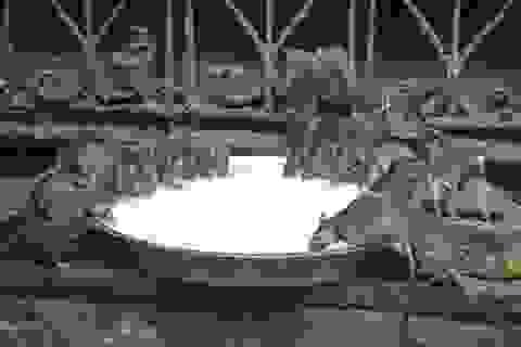 Lạ lùng đền thờ hơn... 20.000 con chuột ở Ấn Độ