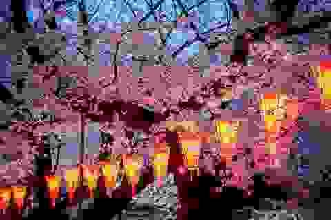 """Đắm mình trong """"mùa hoa kỳ diệu"""" – màu của anh đào ở Nhật Bản"""